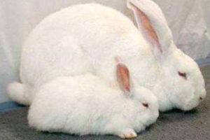 Два кролика породы Белый Великан