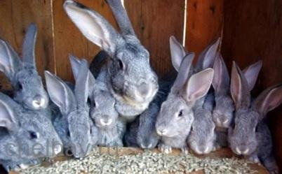 какого кролика выбрать