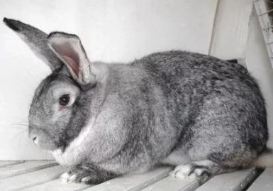 кролик эйрисомного типа