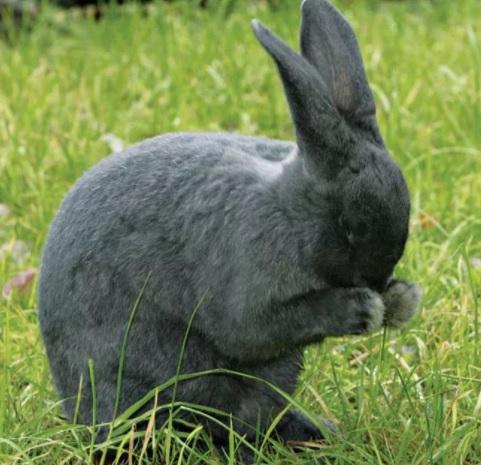 кролик умывается