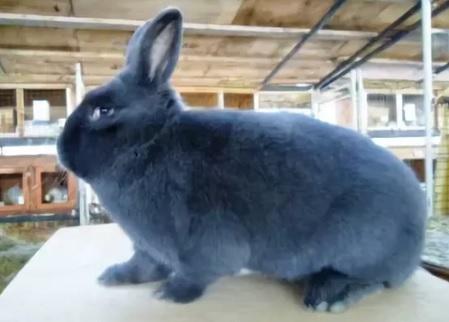 кролики породы Венский голубой