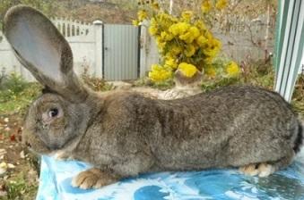 кролик лептосомного типа