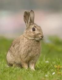кролик на стороже