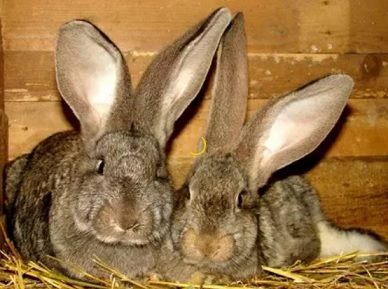 кролики Бельгийский Фландр