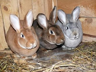 три кролика Рекс