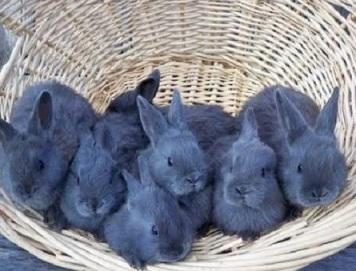 Венские кролики