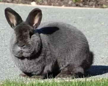 Венский кролик на траве