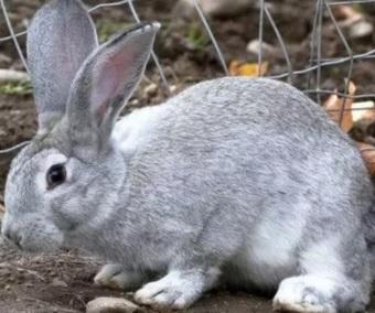 запор у кролика
