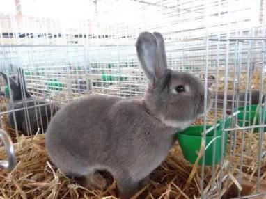 венский кролик характеристика